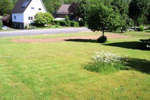Margeritenbestand im Rasen und gefräste Einsaatfläche Foto: O. Schriever