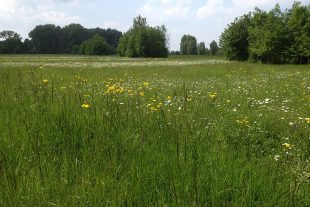 Regiosaatgut verschiedener Wildkräuter wurde zur Aufwertung einer Wiese in Streifen eingesät